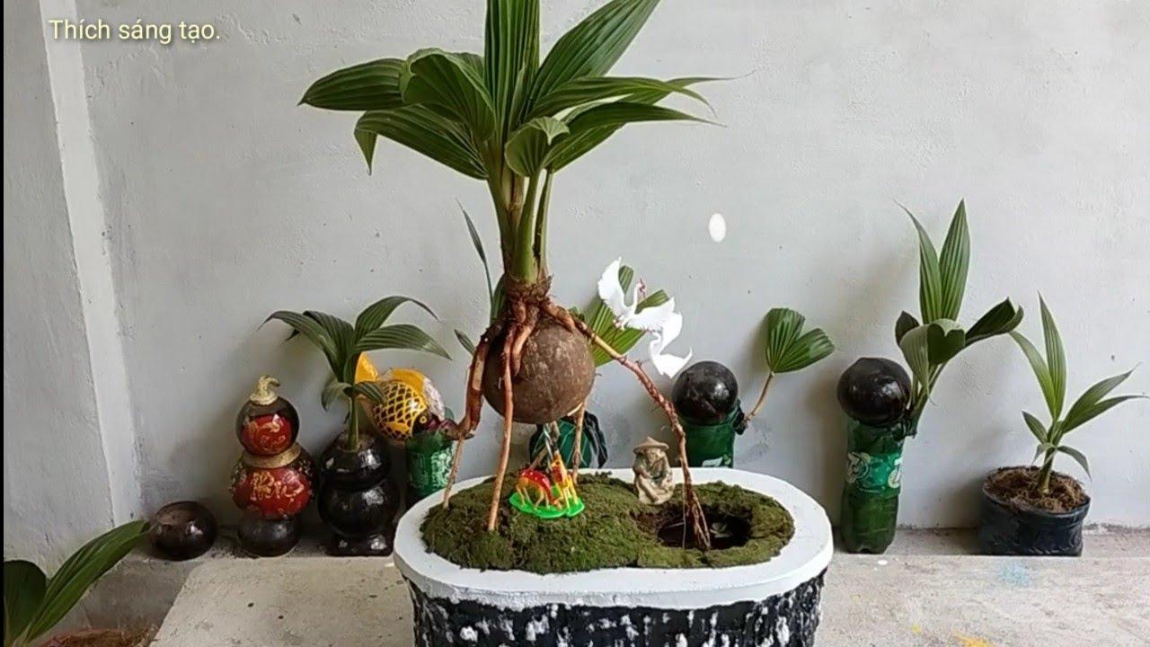 Dừa bonsai vô chậu trang trí tiểu cảnh mini.