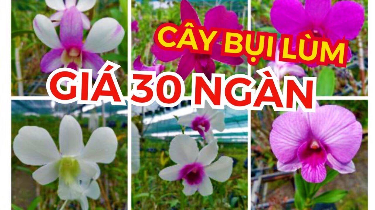 DENDRO CHẬU LỚN BÁN 30 NGÀN: CHỦ VƯỜN MUỐN THANH LÝ GIÁ RẺ! #HOALANDUYPHONG