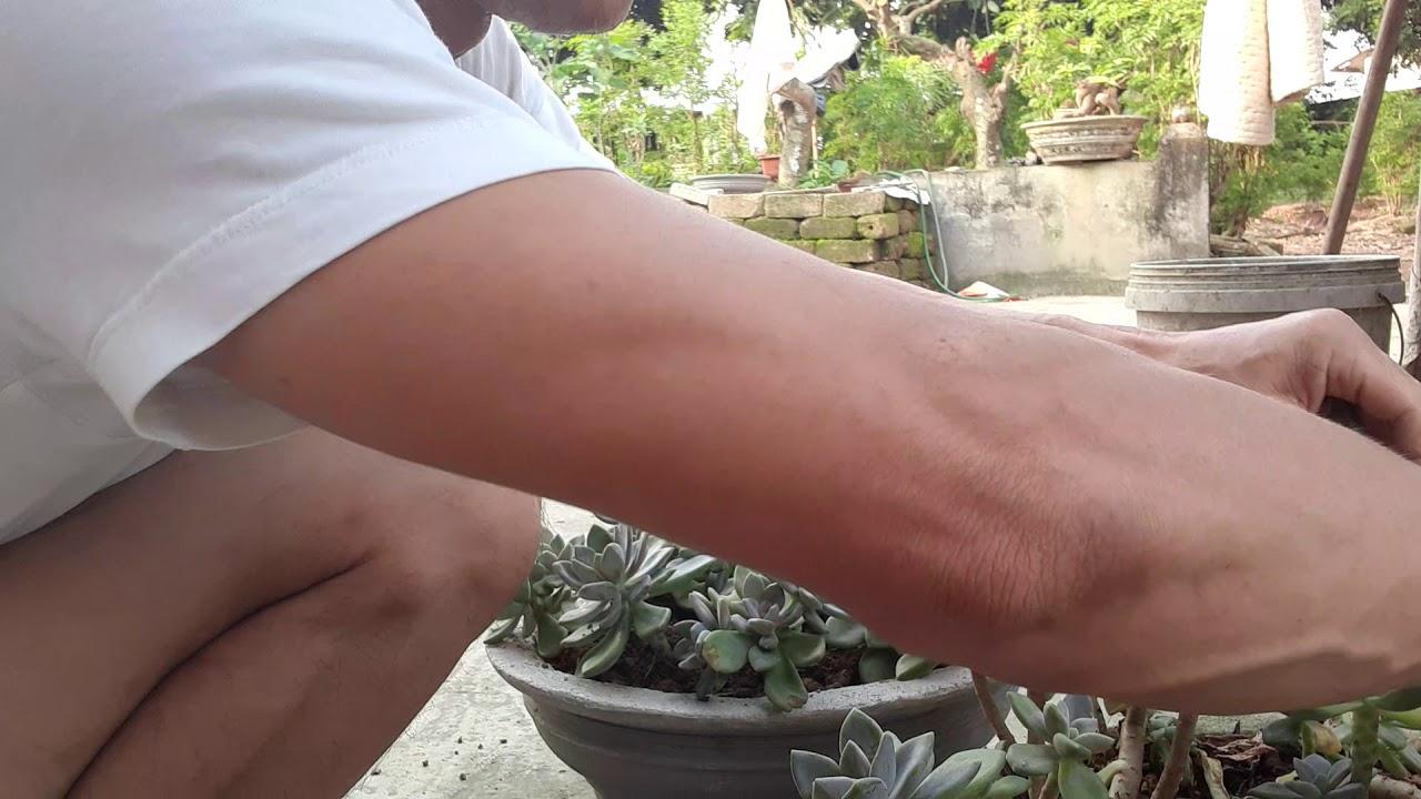 Gép trồng sen đá phong thủy