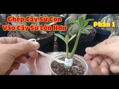 Ghép Cây Sứ Con Vào Cây Sứ Lớn Hơn Thành Cây Mẫu Tử Phần 1 | Sứ Thái Việt Nam.