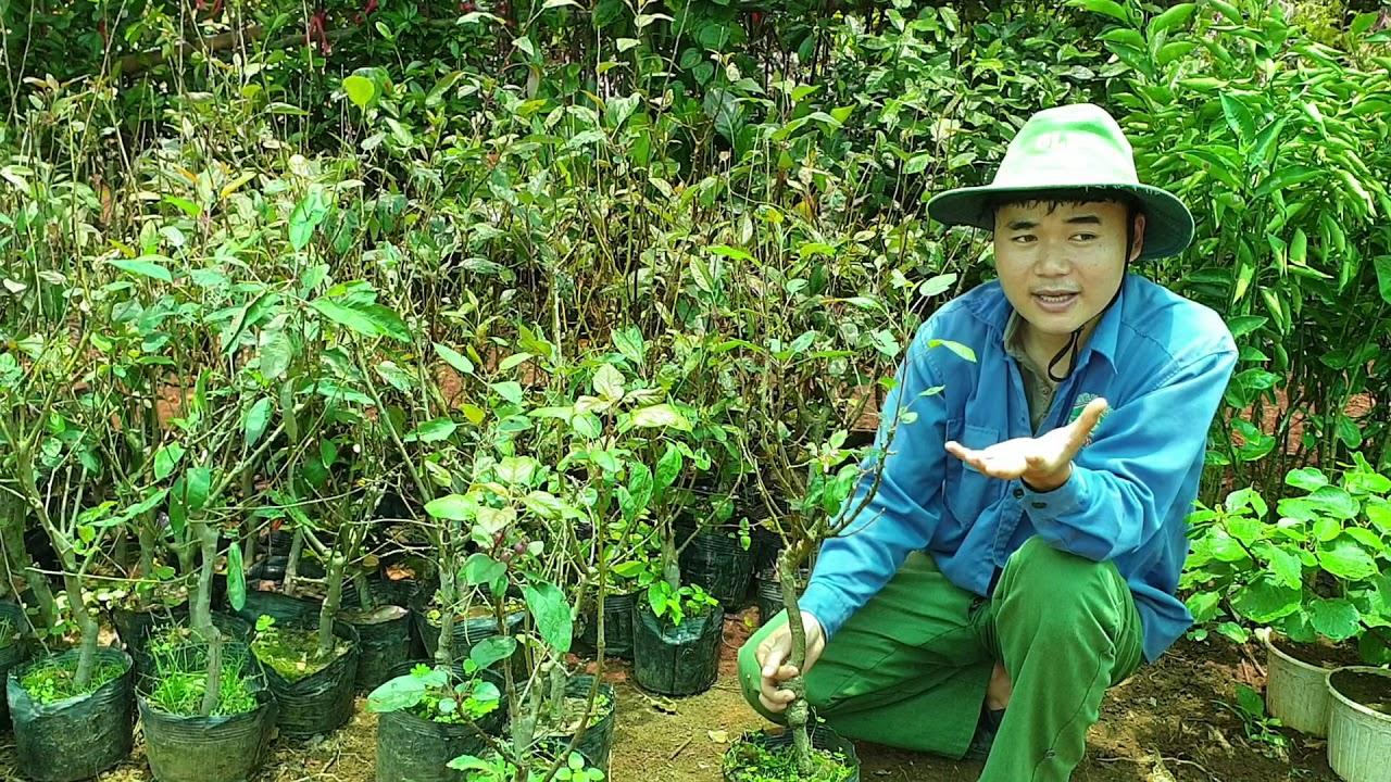Giống Táo Đỏ Lùn F1 Siêu Ngọt, 0988988097 Trồng Trong Chậu, Tạo Dáng Bonsai
