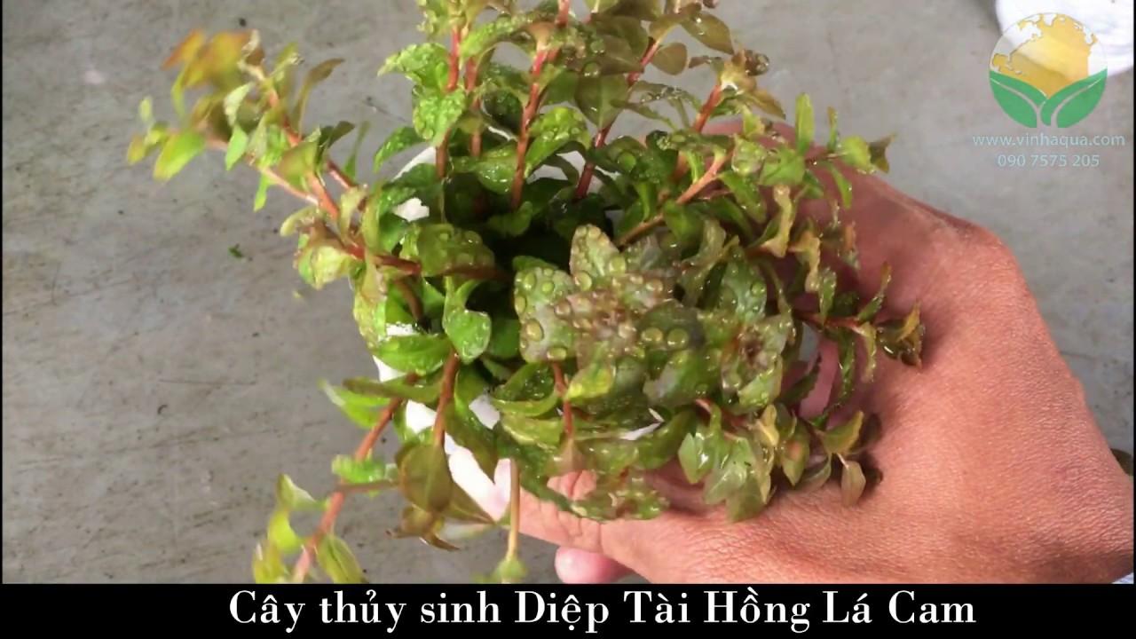 Giao sỉ cây thủy sinh Diệp Tài Hồng Lá Cam