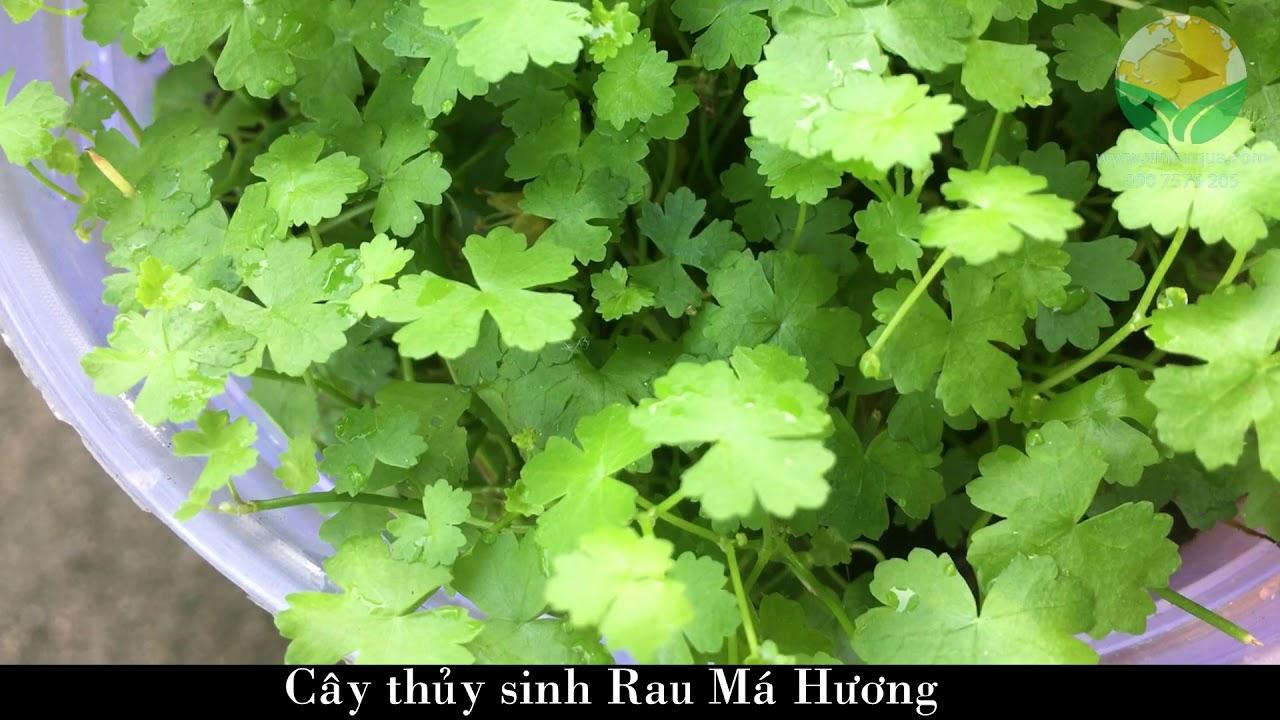 Giao sỉ cây thủy sinh Rau Má Hương