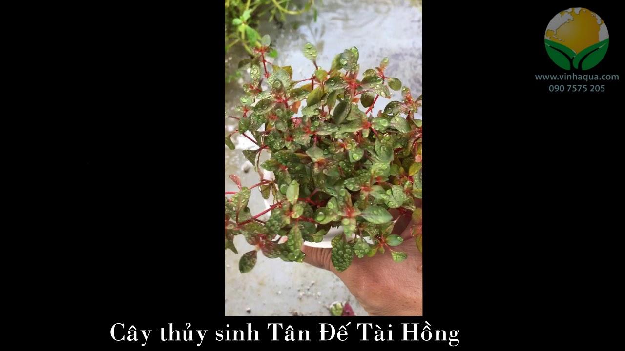Giao sỉ cây thủy sinh Tân Đế Tài Hồng