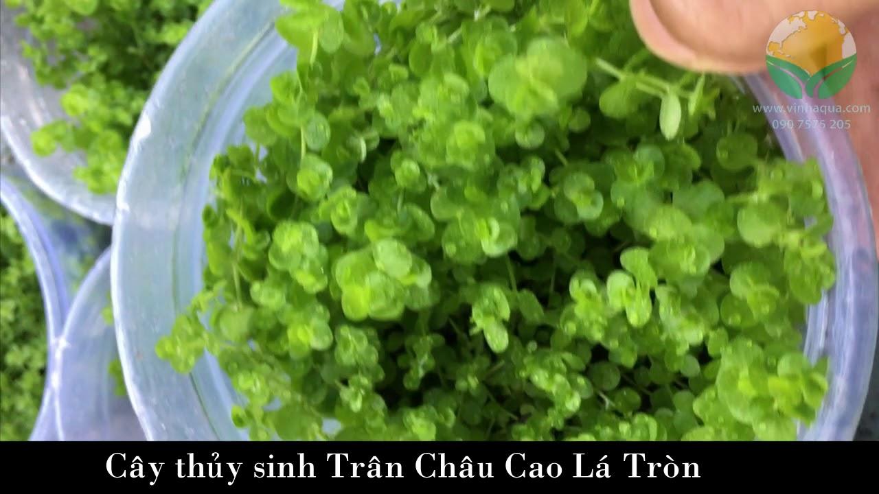 Giao sỉ cây thủy sinh Trân Châu Cao Lá Tròn