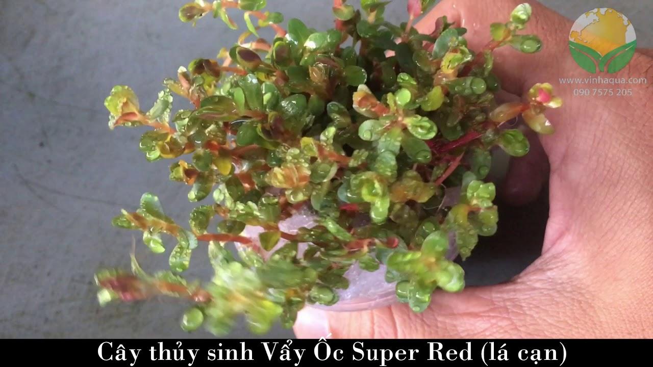 Giao sỉ cây thủy sinh Vẩy Ốc Đỏ Super Red