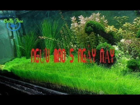 Gieo hạt giống NGƯU MAO CHIÊN 5 ngày nảy mầm/CÂY THUỶ SINH/Aquatic plants