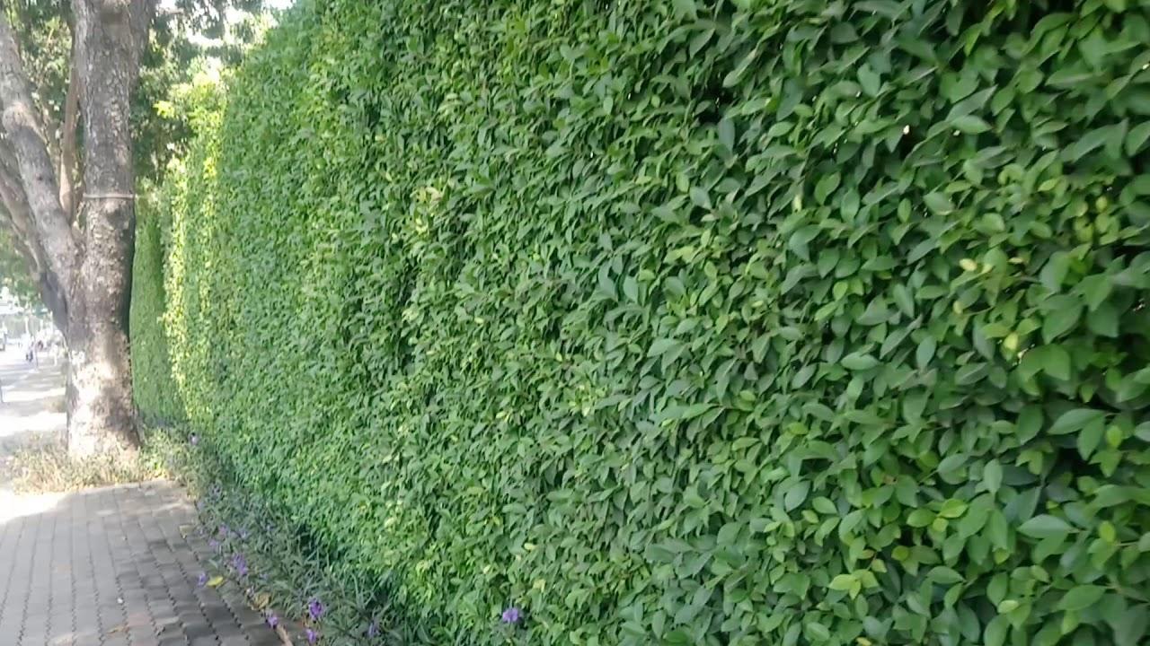 Hàng rào đẹp. Hàng rào quê. Tường xanh .ngôi nhà xanh.0909845069