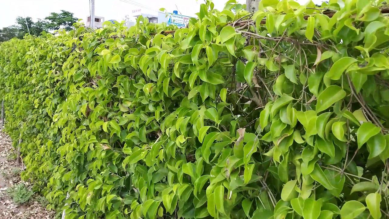 Hàng rào xanh. Tường cây xanh