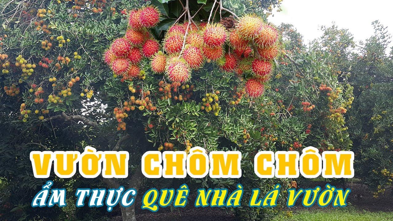 Hành Trình Đi Tìm và Ăn Chôm Chôm tại Vườn Trái Cây ở Tây Ninh