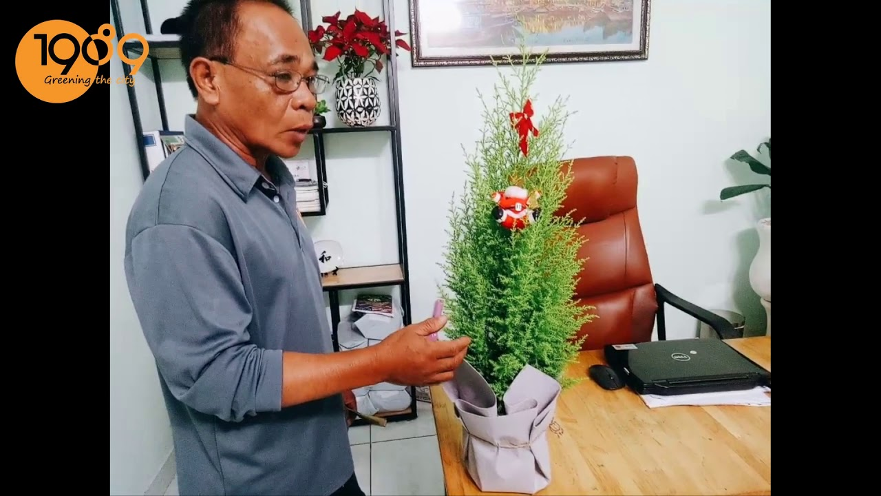 Hướng Dẫn Chăm Sóc Cây Tùng Thơm Mùa Giáng Sinh