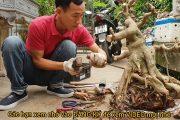 Hướng dẫn cách trồng cây sanh vào chậu ( TP: Trực Hoành)