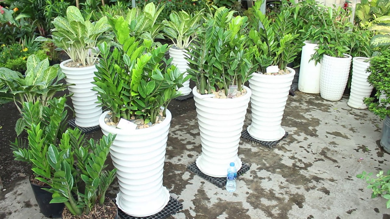 Hướng dẫn chăm sóc chậu cây Kim Tiền - Hoàng Nguyên Green