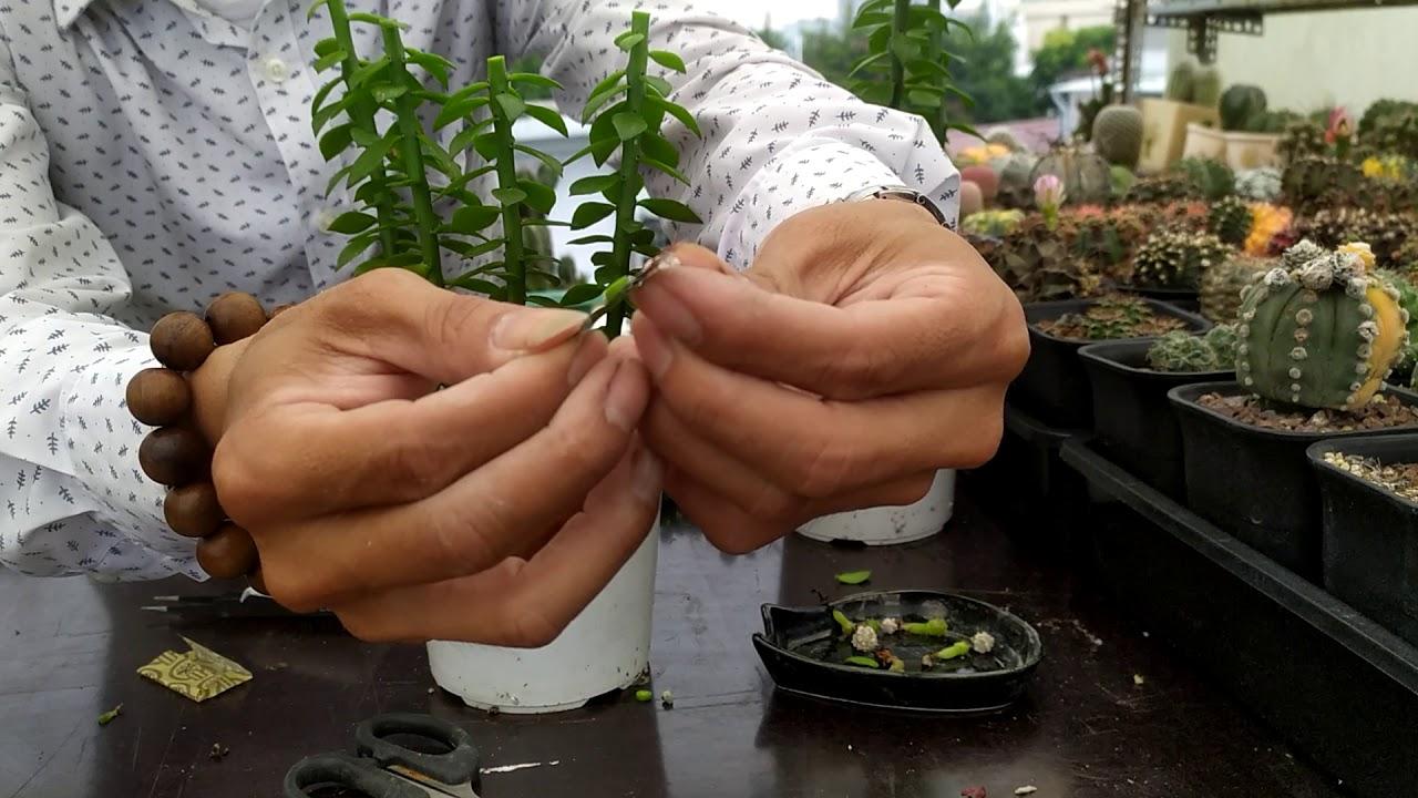 Hướng dẫn tháp ghép xương rồng trên Diệp Long - How to grafting on pereskiopsis