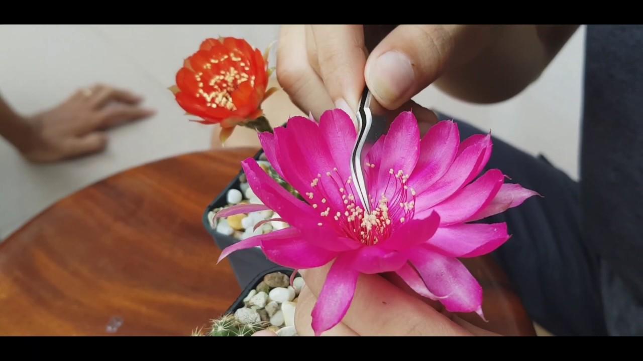 Hướng dẫn thụ phấn hoa xương rồng lobivia / How to polinate lobivia cactus