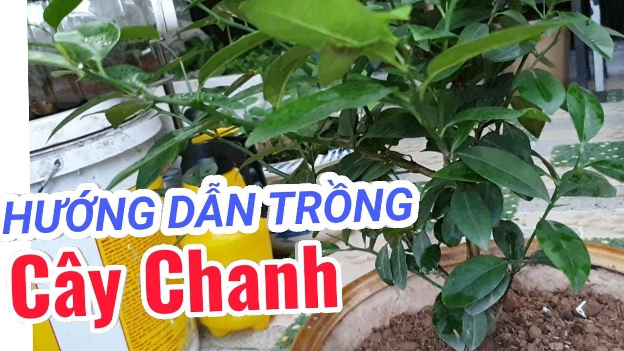 Hướng dẫn trồng cây Chanh bằng chậu cảnh để trong nhà dùng ăn lá