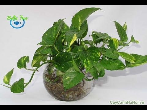 Hướng dẫn trồng cây TRẦU BÀ hợp tuổi/ CÂY THUỶ SINH/ AQUATIC PLANT