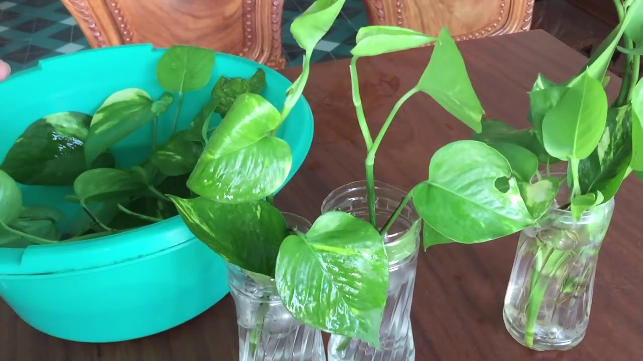 Hướng dẫn trồng cây trầu bà vô chai nhựa hút tài lộc không trồng thì phí quá