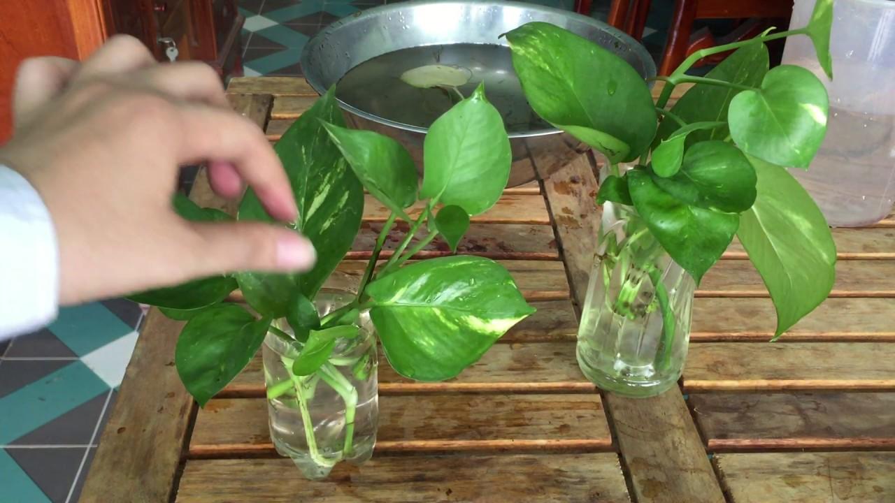 Hướng dẫn trồng cây trầu bà vô chai nhựa,hút tài lộc, không trồng thì phí quá