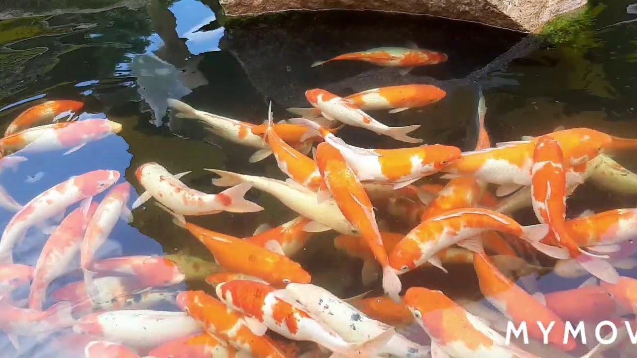 Hồ Cá Koi sân vườn đẹp như cổ tích- Why Fish are so Expensive- beautiful
