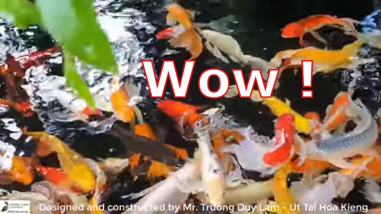 Hồ cá Koi bướm đẹp trong biệt thự sân vườn ở Bình Dương ??