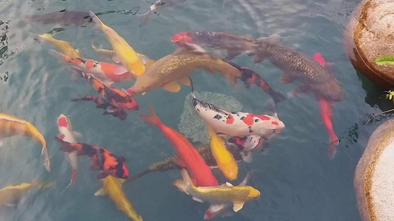 Hồ cá koi 24 khối tiểu cảnh sân vườn nha trang