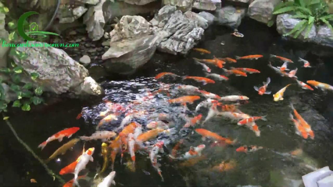Hồ cá koi sân vườn - Đàn cá koi đẹp khủng nhất