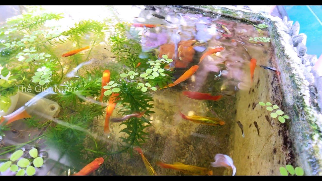 Hồ cá thập cẩm ngoài trời cá bảy màu cá đuôi kiếm cá mún dễ nuôi đẻ nhiều - Outdoor guppy aquarium