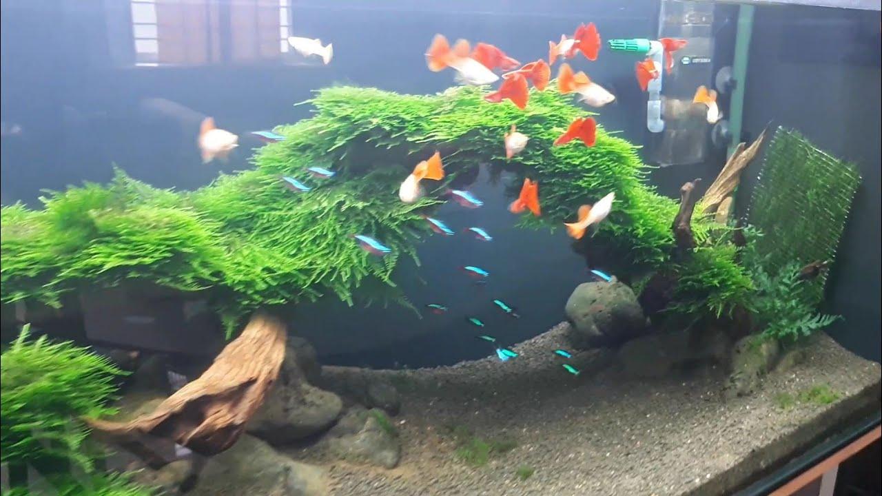 Hồ thủy sinh - cột rêu làm thảm rêu cho hồ thủy sinh