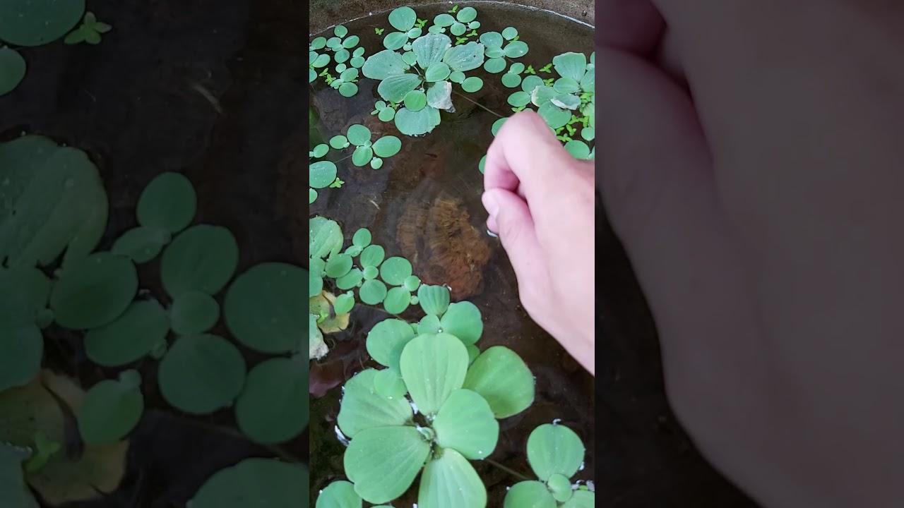 Hồ thủy sinh ngoài trời đơn giản làm từ chậu cây