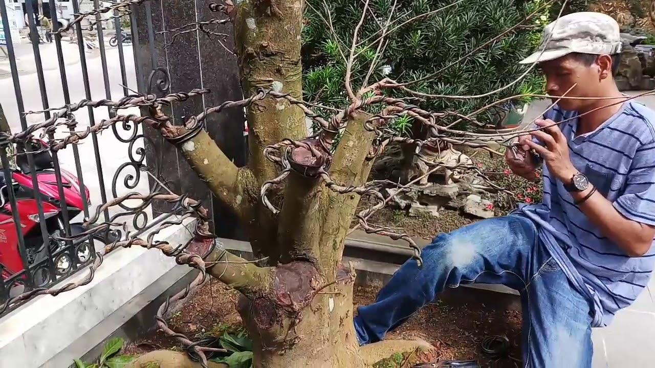 HV 309.phúc ngô làm cây củi thành cây cảnh bonsai nghệ thuật