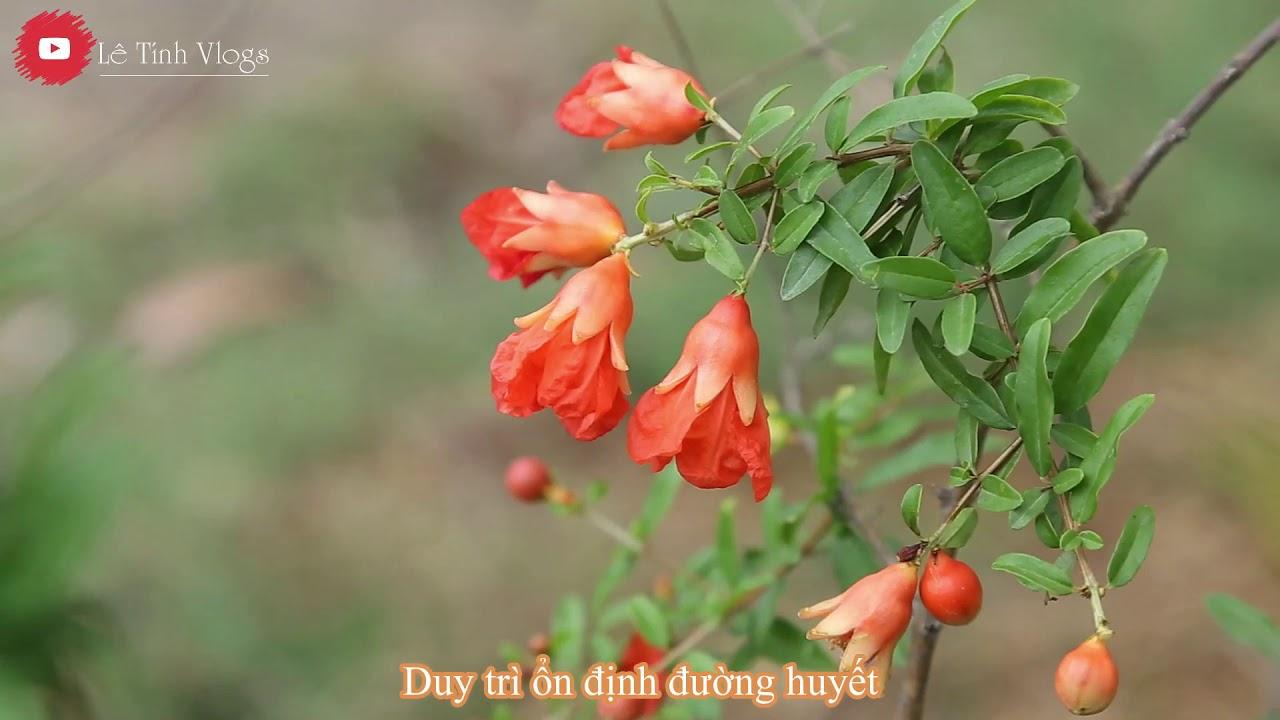 Hoa Lựu khoe sắc | Quá đẹp