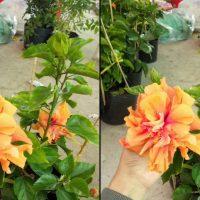 👍👍Hoa dâm bụt bông to, hoa siêu đẹp lung (50k) - Cây phong thủy