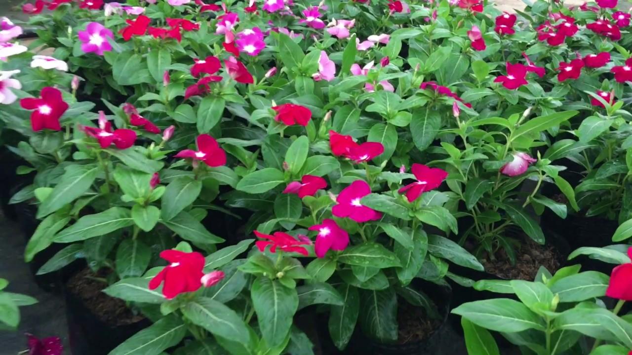 Hoa ngũ sắc và dừa cạn là 2 loại hoa đẹp, trồng quanh năm   kênh làm vườn S Garden