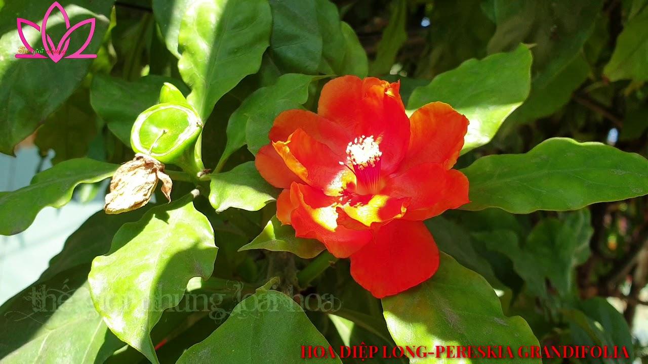 Hoa xương rồng Diệp Long-Tên khoa học: Pereskia grandifolia