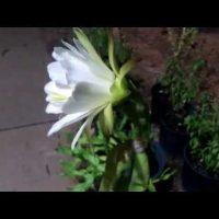 Hoa xương rồng nở giữa khuya . Flowers cactus bloom midnight.