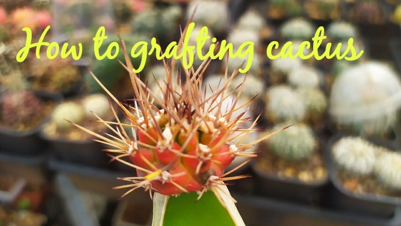 How to grafting cactus - Tháp xương rồng đơn giản và Cái Kết Bất Ngờ