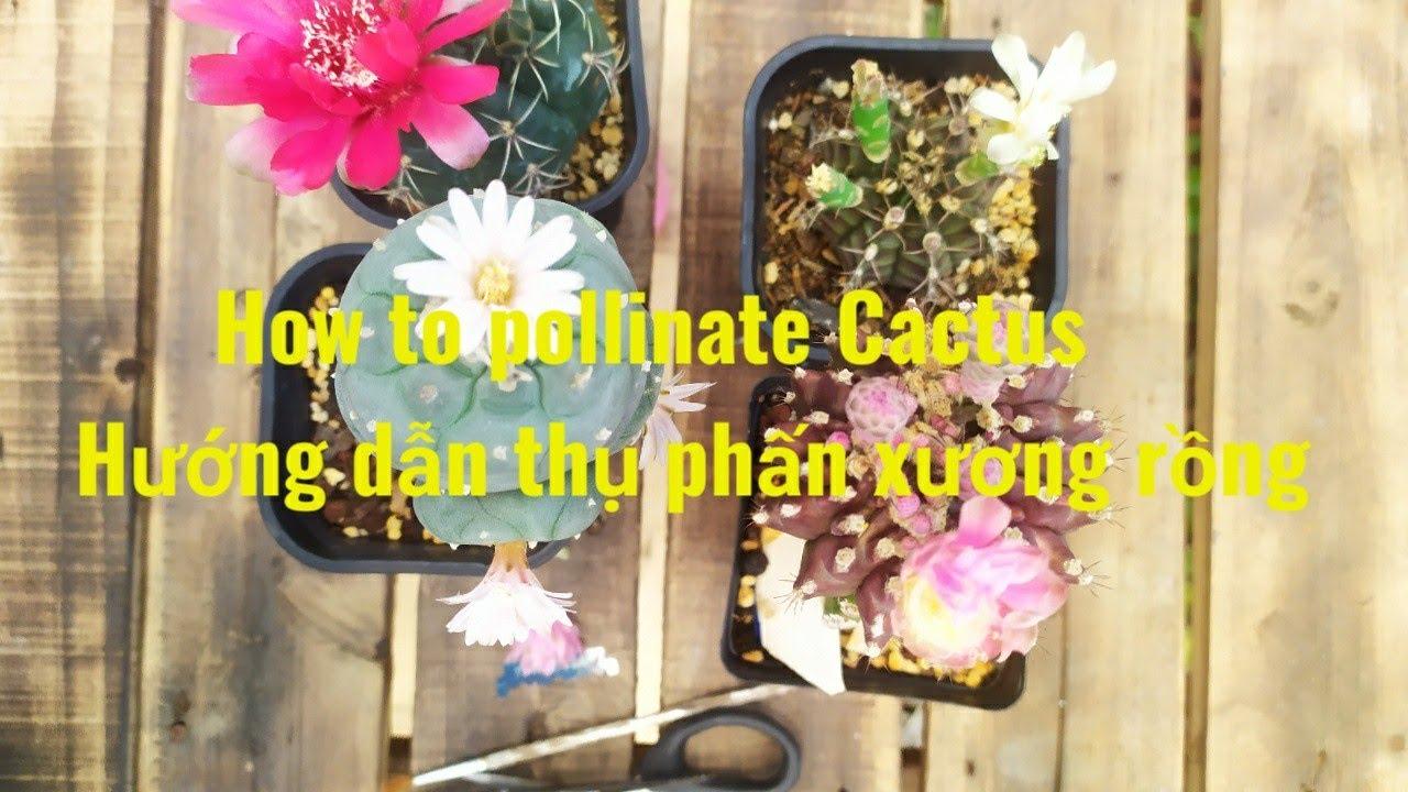 How to pollinate  Cactus - Thụ phấn Xương Rồng bá đạo nhất VIỆT NAM