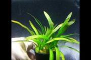 #HuyVlog. Một số loại cây thủy sinh đơn giản dễ sống.