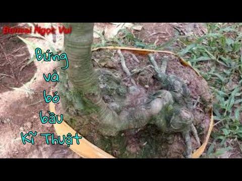 Kĩ thuật bứng và bó bầu cây khế gân đúng cách | Bonsai Ngọc Vui