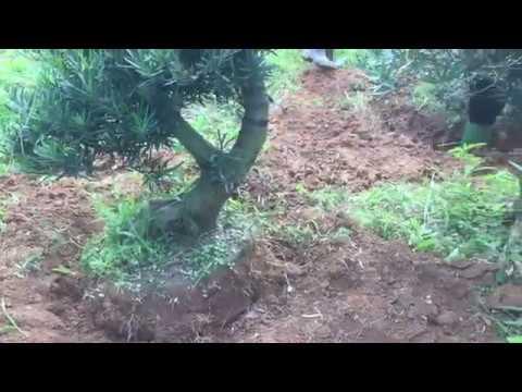 Kỹ thuật bó lưới bầu cây cảnh để giâm trồng giúp lúc đánh chuyển cực dễ. Vườn ươm tùng la hán khủng.