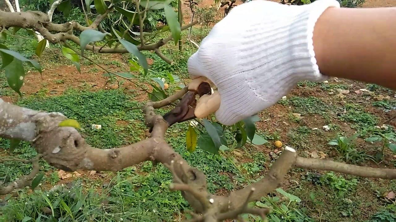 Kỹ thuật cắt tỉa cây Sanh và cách tạo thế bonsai đẹp như ý | Hướng dẫn cắt tỉa cây sanh nghệ thuật