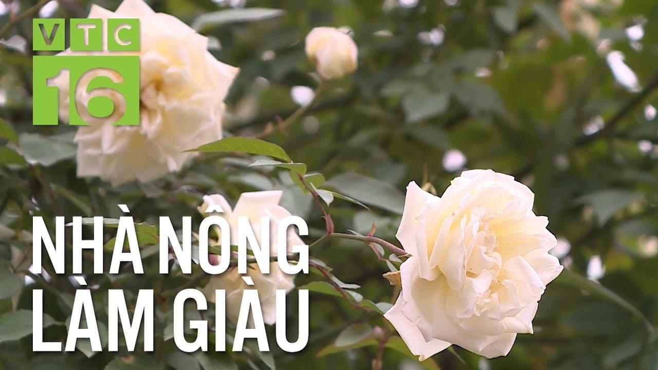 Kỹ thuật chăm sóc hoa hồng cổ thụ trong chậu | VTC16