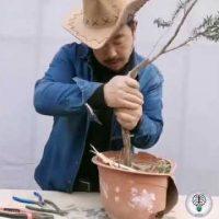 Kỹ thuật tạo dáng bonsai đẹp của nghệ nhân nước ngoài