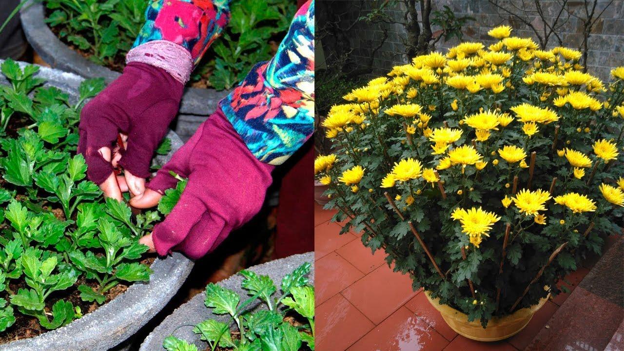 Kỹ thuật trồng hoa cúc vàng ra hoa đúng dịp tết