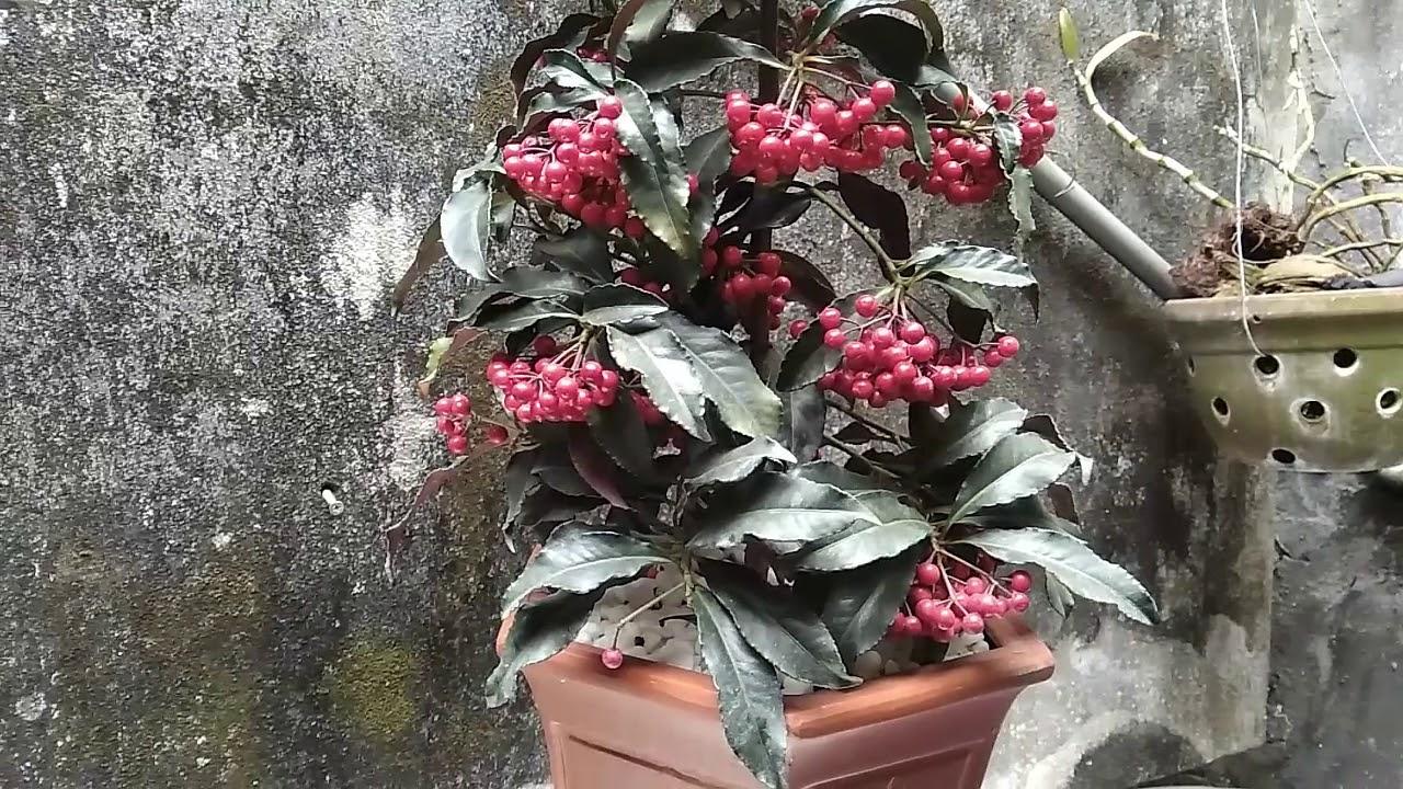 Kỹ thuật trồng và chăm sóc cây Kim Ngân Lượng / Cây phong thủy /The most beautiful bonsai.