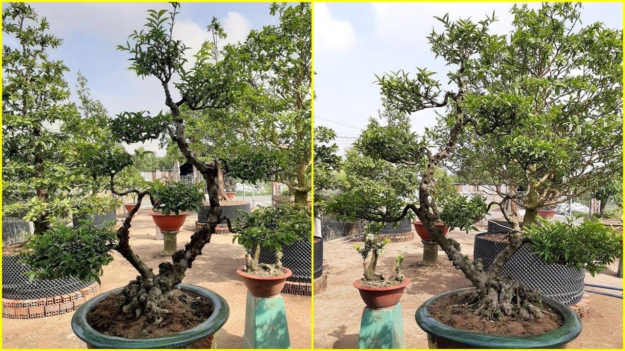 KIỂNG MAI CHIẾU THỦY TRANG TRÍ SÂN VƯỜN - WRIGHTIA RELIGIOSA ORNAMENTAL PLANTS GARDEN DECORATION