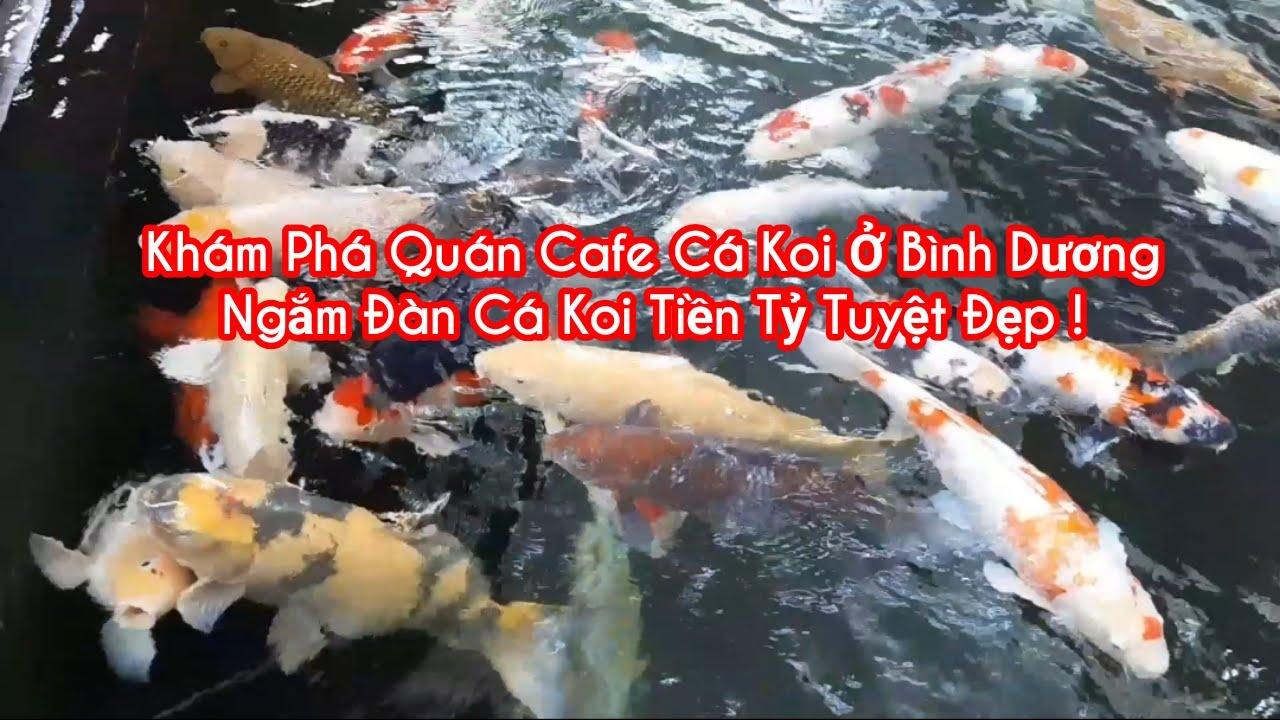 Khám Phá Quán Caffe Cá Koi Ở Thủ Dầu 1 Bình Dương Phần I # Ngắm Hồ Cá Koi Tuyệt Đẹp # Duy Mạnh Vlog