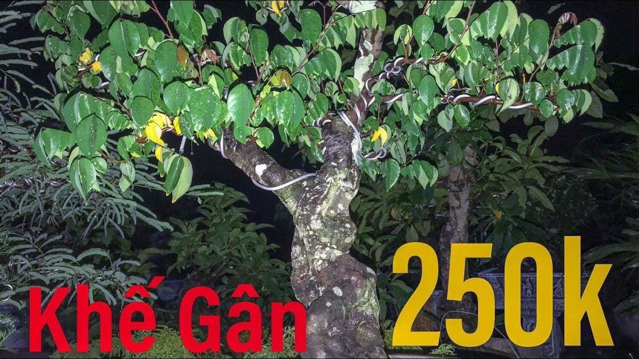 Khế Gân   Khế Chùm 250k   Khế BonSai   Cây Cảnh TV