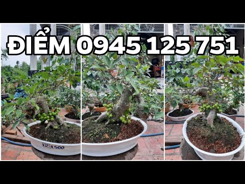 LÔ KHẾ GÂN LAI VUNG ngày 16/5/2020 ?0945 125 751 ĐIỂM? bonsai can tho